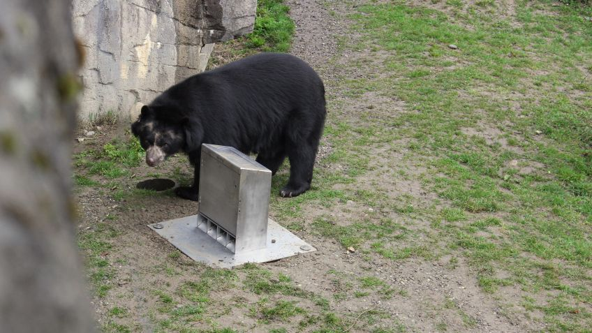 Andean bear inspects the feeding box 'TIMO'