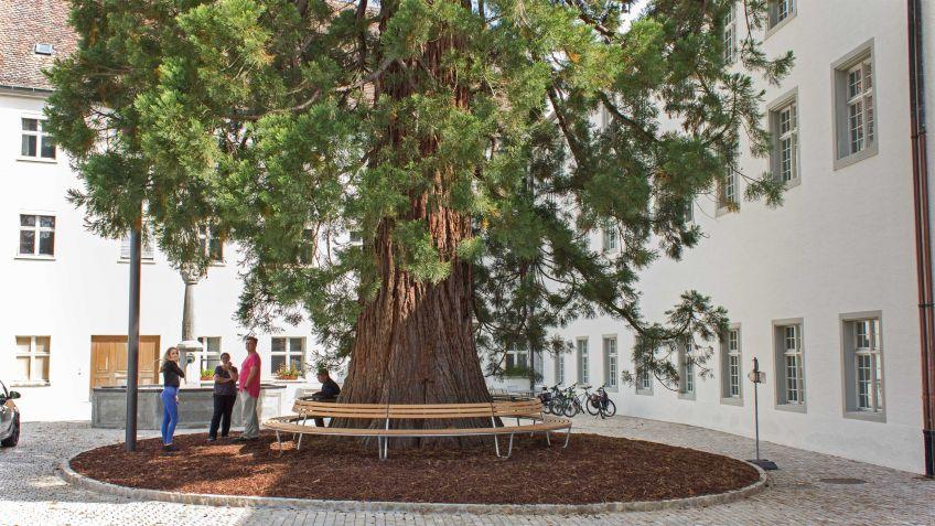 Landi Rundbank um den dicken Stamm des Mammutbaumes